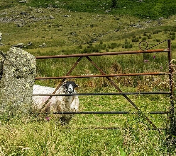 Sheep Playing Hide and Seek
