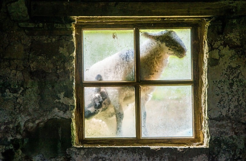 Lambs at the Window