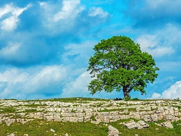 The Solitary Tree on Malham Moor