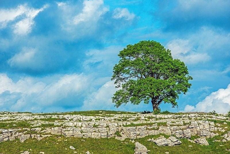 The Solitary Tree on Malham Moor