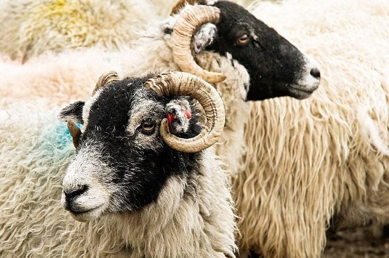 Swaledale Sheep Close Up