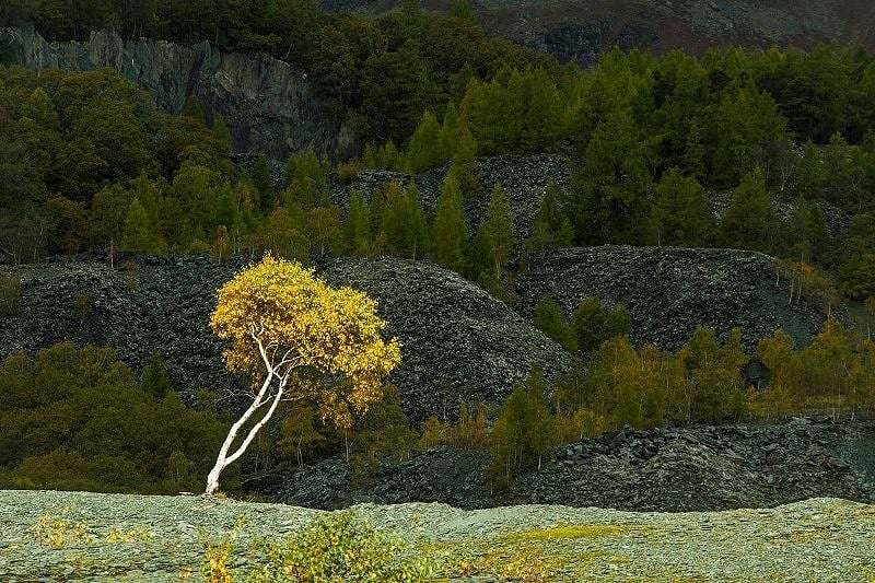 The Silver Birch Tree