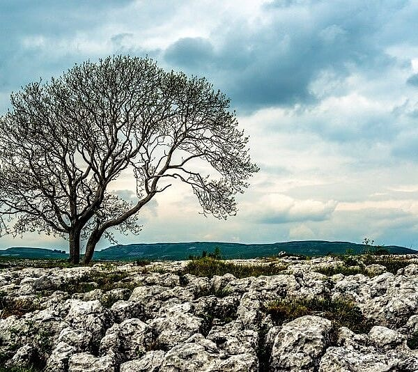 Ash Tree Malham Moor Yorkshire Dales