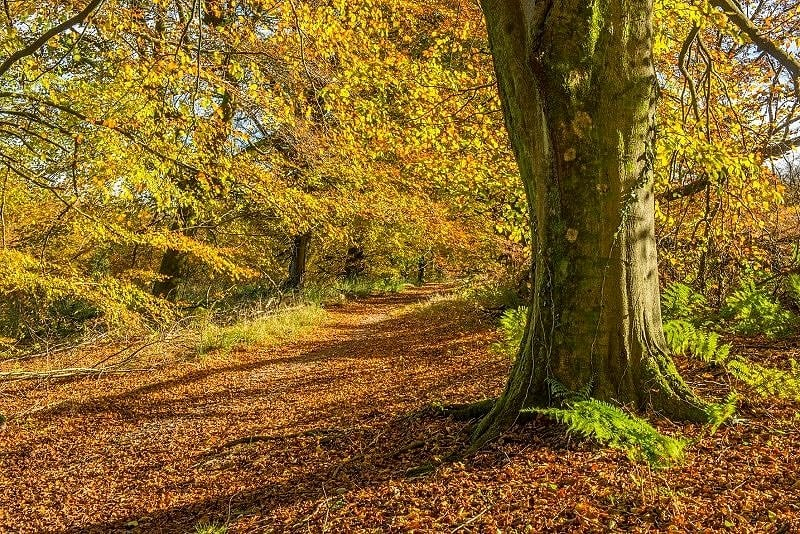 Beech Tree on Wentwood Forest Autum