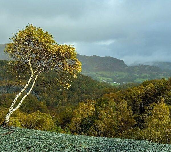 Solitary Birch Tree Hodge Close Quarry