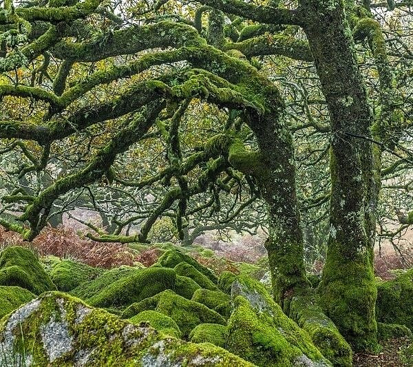 Wistmans Wood Dartmoor