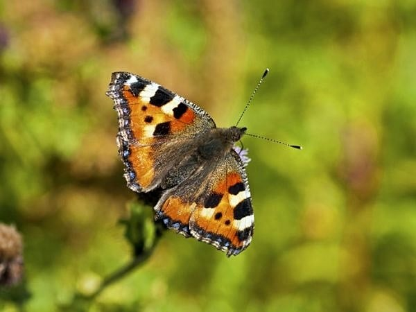 Small tortoiseshell butterfly Aglais urticae