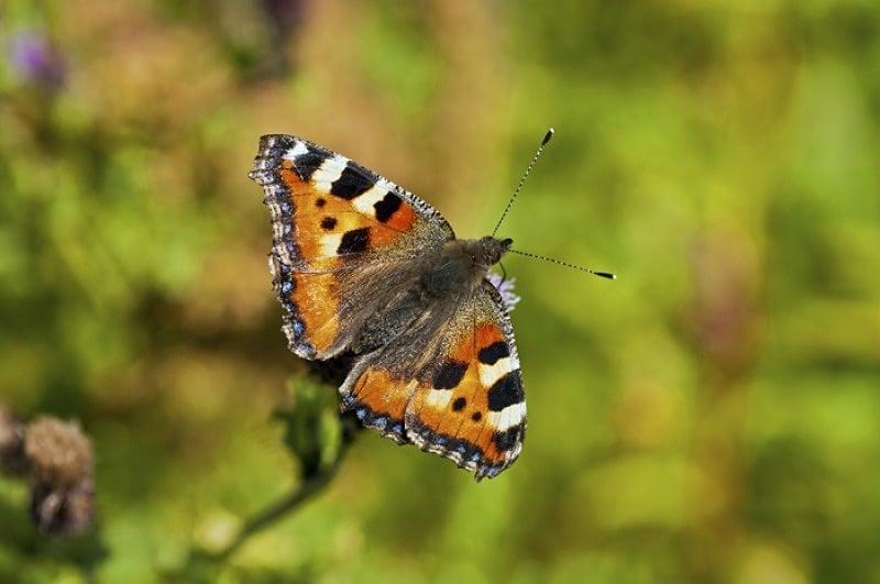Small tortoiseshell butterfly Aglais urticae