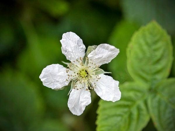 Bramble or Eubus fruticosus Flower
