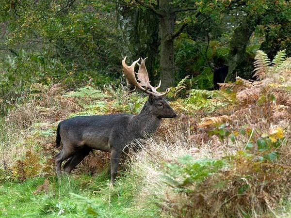 Fallow Deer Stag Cannock Chase Staffordshire