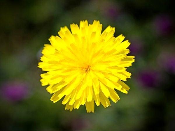 Hawkbit Flower Springtime