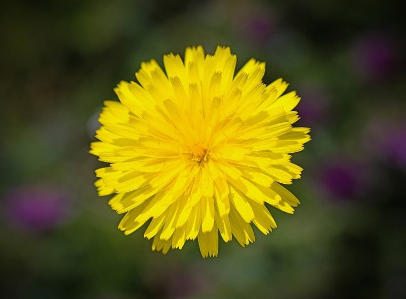 Hawkbit Flower Springtime
