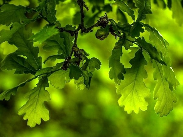 Backlit Oak Leaves in Spring