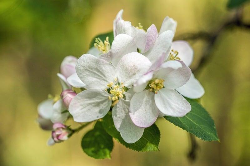 Apple Blossom web DSC_8217