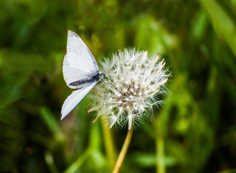 Small white butterfly web DSC_9022