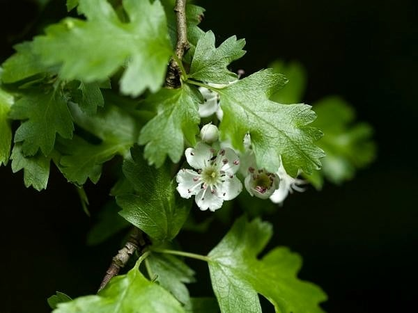 Hawthorn Blossom Crataegus monogyna