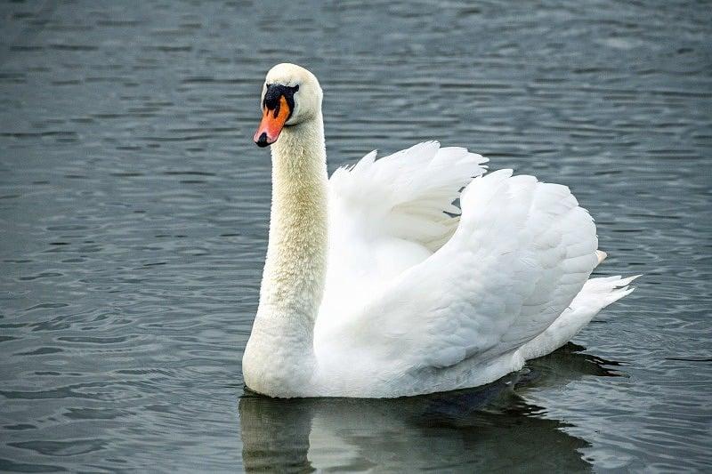 Swan on Cosmeston Lake Wales