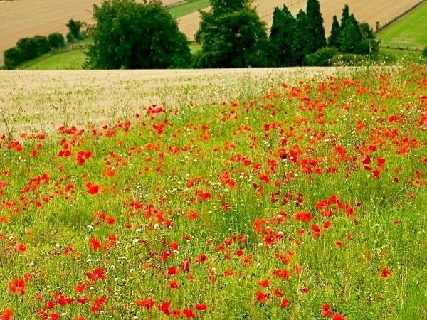 Poppies in Cornfield Cotswolds
