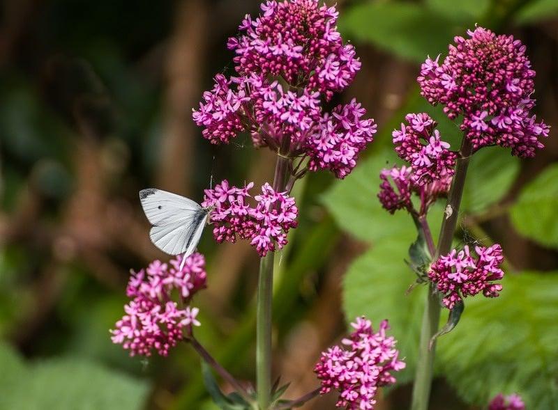 Small white butterfly web DSC_9008