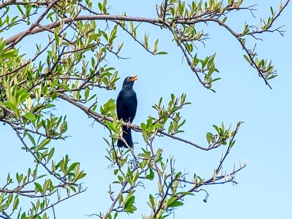 Male Blackbird Singing in a tree
