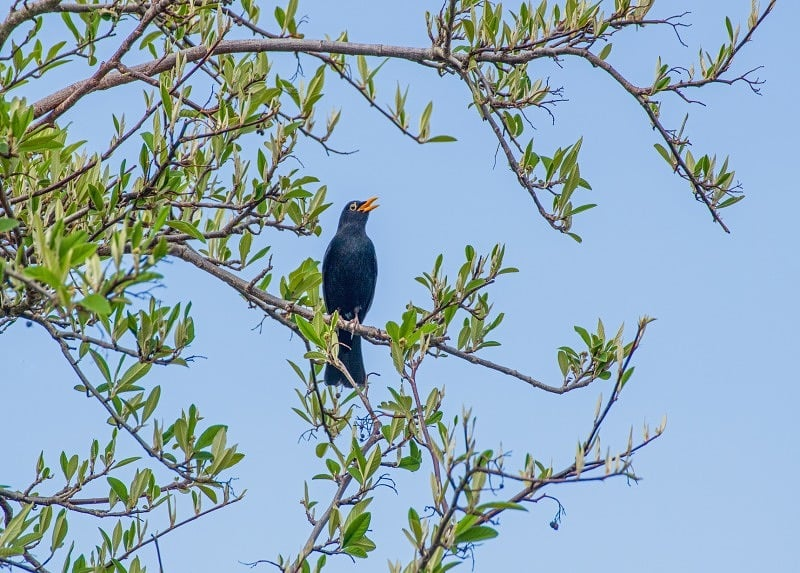 Male Blackbird Singing in a tree
