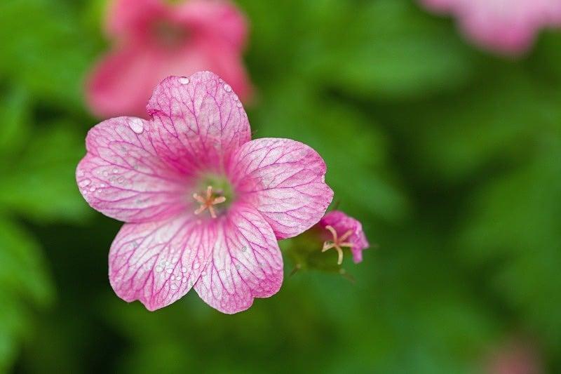 Small Garden Geranium