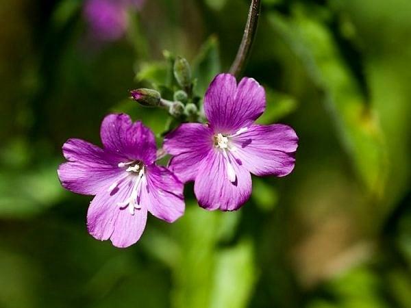 Willowherb Flowers web DSC_9210