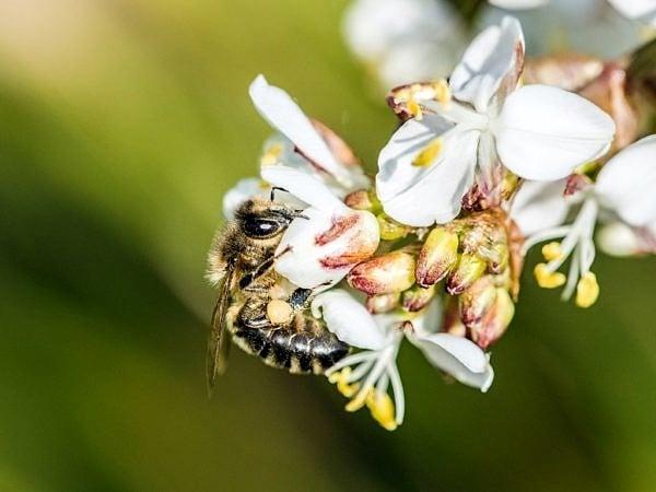 Bee on a Pieris Flower