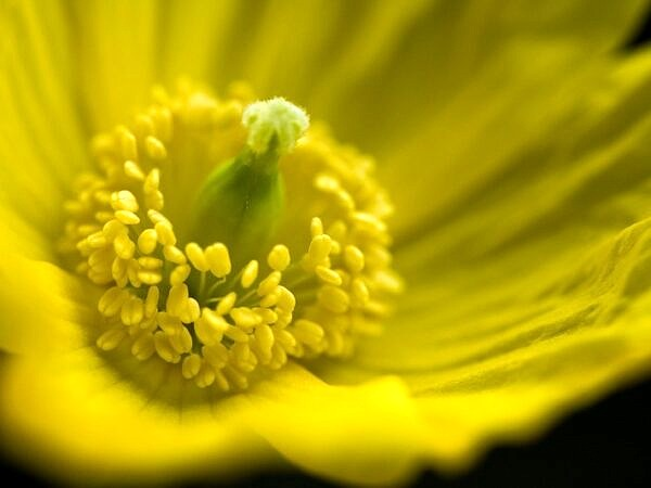 Yellow Welsh Poppy Close up