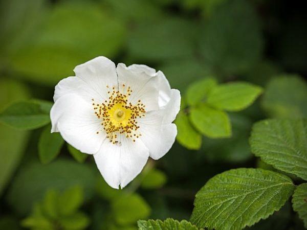 White Dog Rose Flower