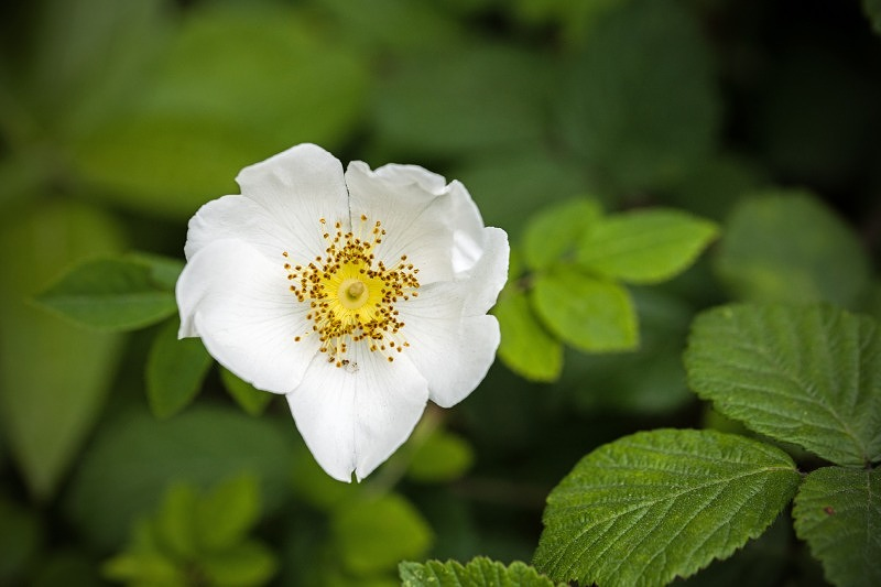 White Dog Rose Flower