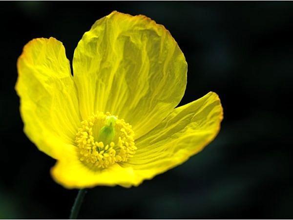 Welsh Poppy Flower web DSC_1371