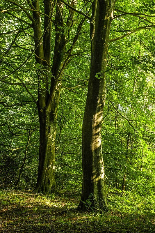 Wentwood Forest Monmouthshire Two Beech Trees