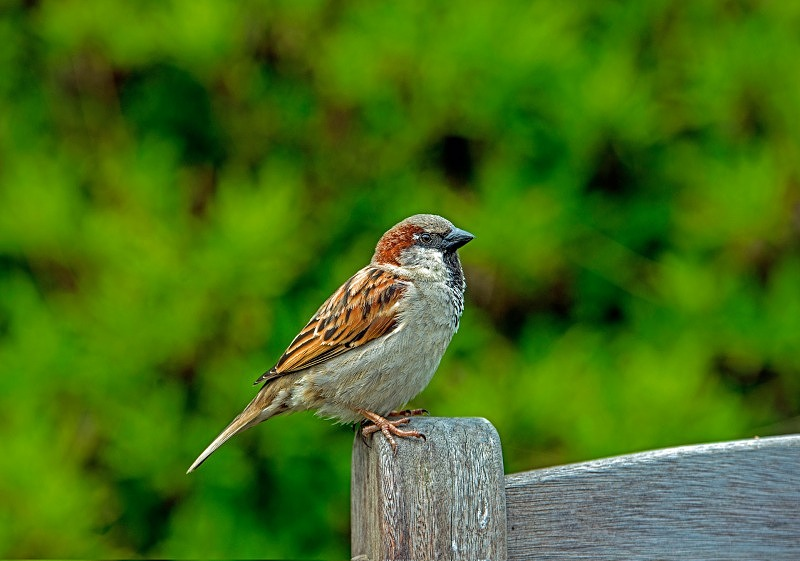 House Sparrow on Bench Passer domesticus