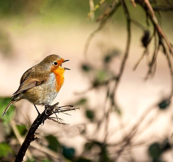 Robin singing Erithacus rubecula