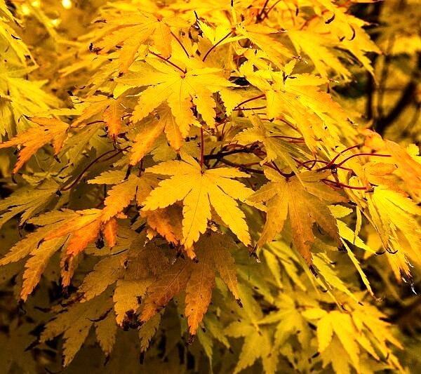 Acer Tree in autumn colours