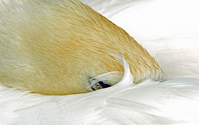 Mute Swan Fast Asleep by a Lake